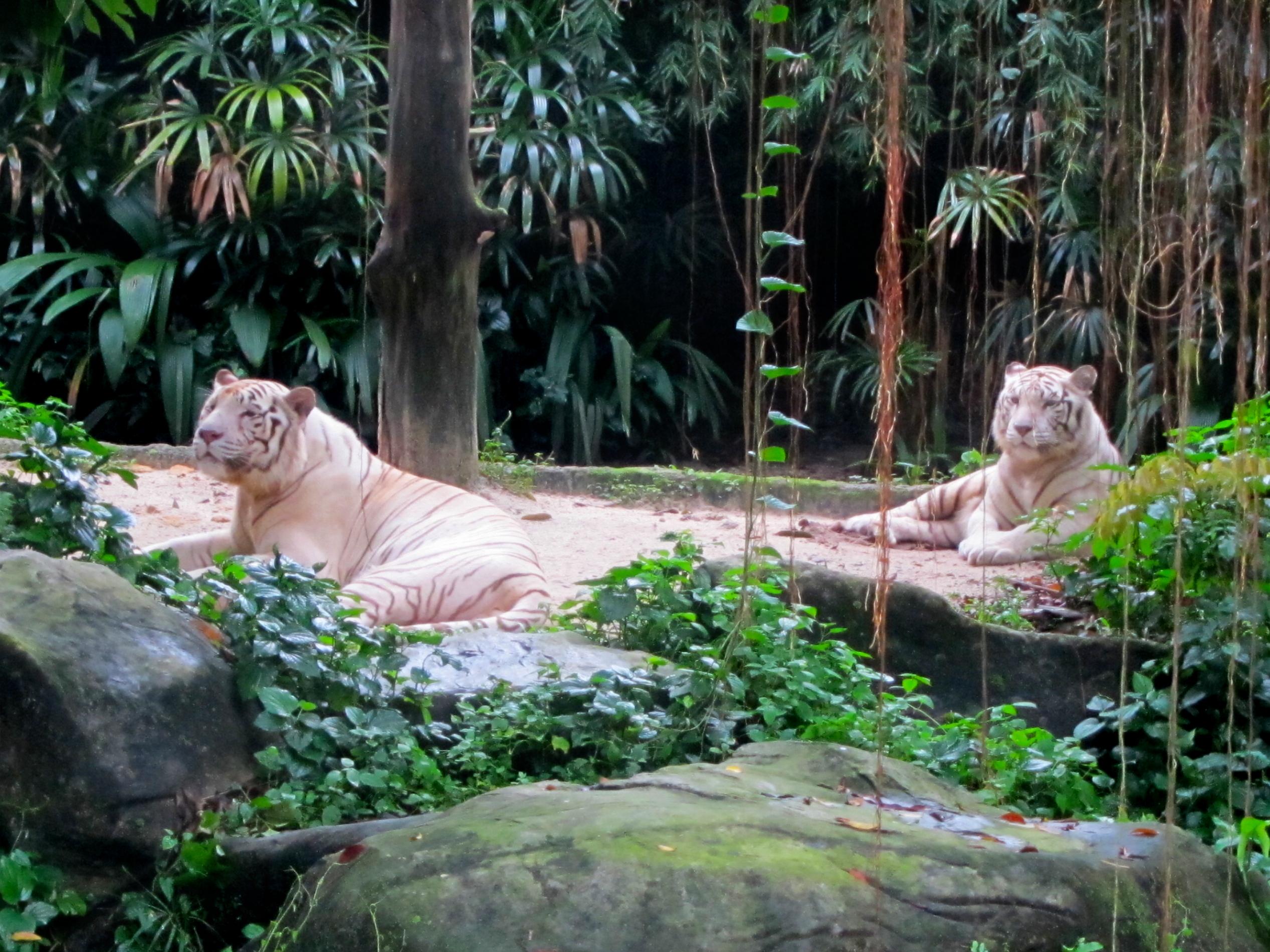 singapore zoo night safari 154. Black Bedroom Furniture Sets. Home Design Ideas